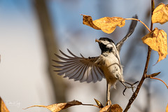 Chickadee with Fly