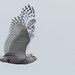 Snowy Owls of New Jersey   2018 - 28 by RGL_Photography