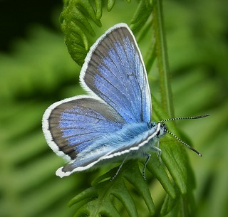 Silver-studded Blue Plebejus argus male