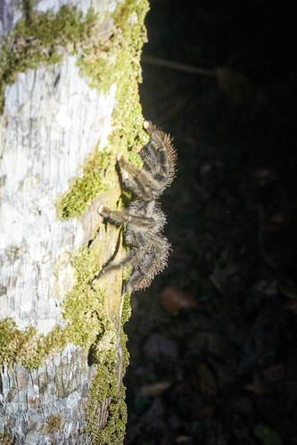 Pinktoe Tarantula
