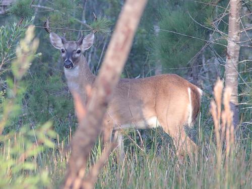 White-tailed Deer buck 03-20181022