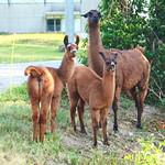 Lamas (Llamas) in Maienfeld GR 31.7.2018 2817