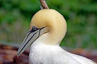 gannet head wildlife