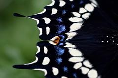 black swallowtail male