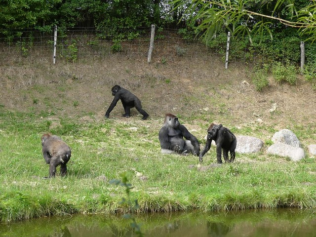 Gorillas, Zoo Givskud