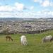 Ponies, Alpaca, Halifax