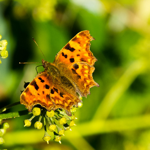 Autumn insect: comma butterfly on ivy