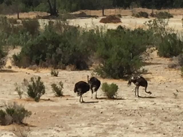 Ostrichland, Buellton, CA