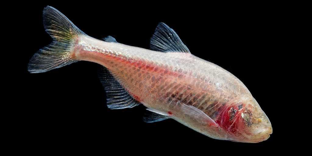 poisson-aveugle-évolution