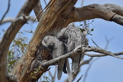 Mr and Mrs Tawny Frogmouth ( Things look better this way )