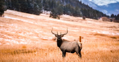 Big Elk just hanging out
