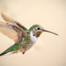 Immature Male Broad-tailed Hummingbird (Selasphorus platycercus) on the Canopy Trail at  Dead Horse Ranch State Park in Cottonwood, AZ by Jim Frazee