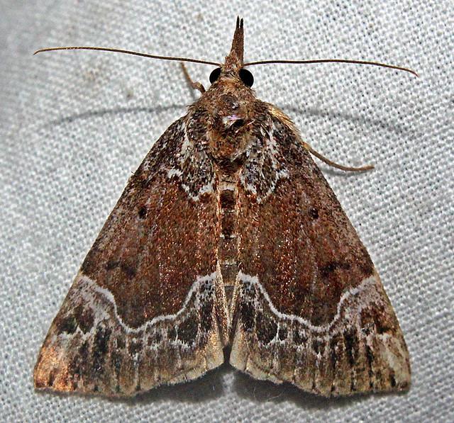 Hodges#08445 - Hypena abalienalis (Erebidae)