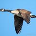 Goose_A220031