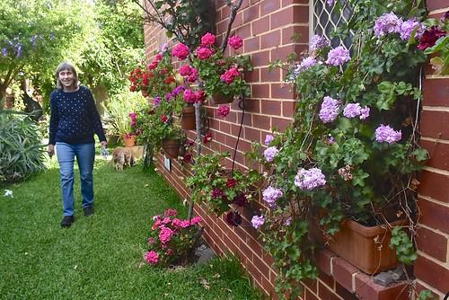 Jill Weaver and her geranium wall November 2018