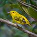 Yellow Warbler (Dendroica petechia)-0023