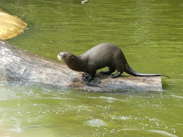 Riesenotter, Zoo Givskud
