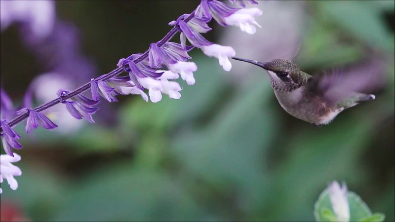 Hummingbird Slow Mo 092918 Clip 25 and 26  with music