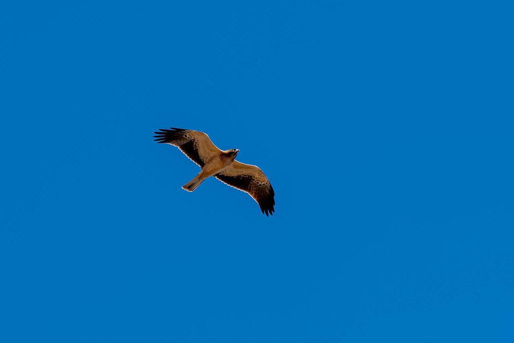 Booted Eagle - Águia-calçada - Aquila pennata