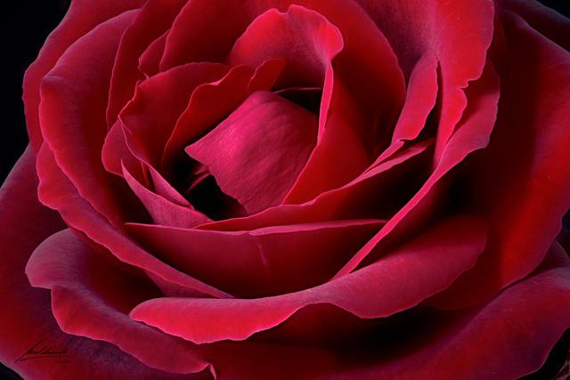 Rosa-de-terciopelo