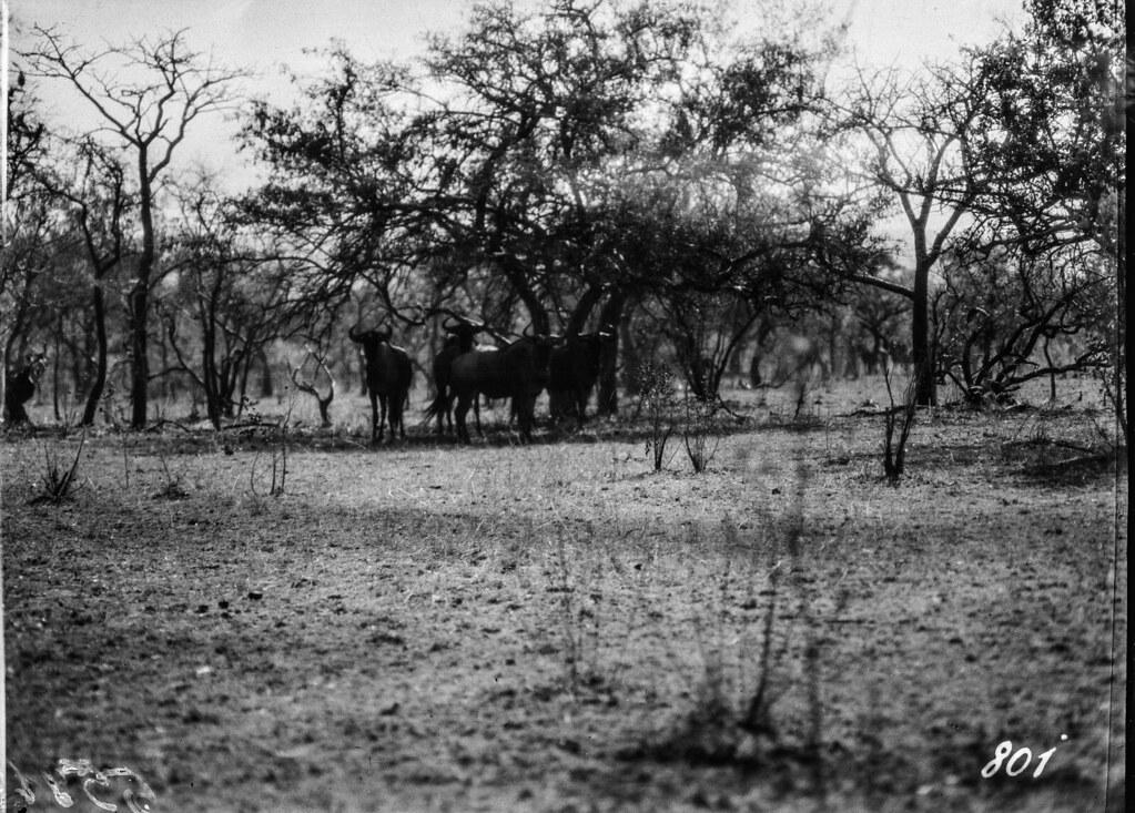 Окрестности Солсбери. Антилопы гну
