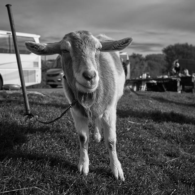 a portrait of a goat