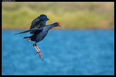Australasian Swamphen: Free fly or free fall