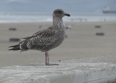 Western Gull juv (Larus occidentalis), South of San Francisco, California