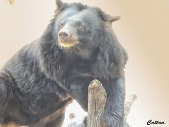 Moon Bear or Asian Black bear