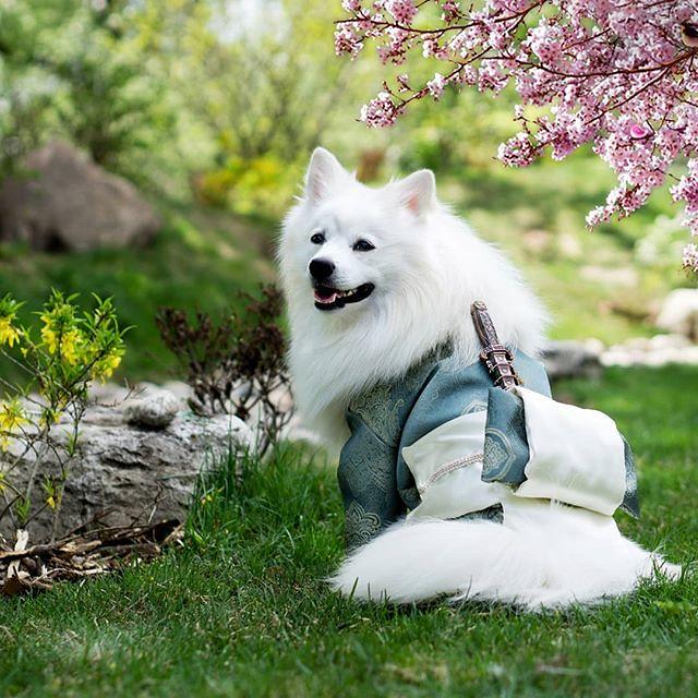 Samurai Dog 🐕 doesn't take crap from anyone! #samuraidog