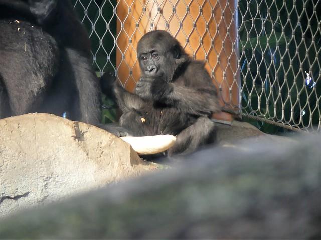 Gorilla Wela, Zoo Frankurt