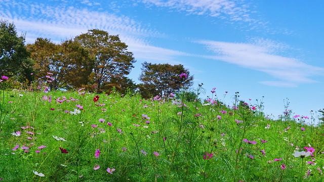 国営昭和記念公園〜コスモスまつり〜心地よい風の中で