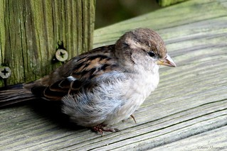 Fluffy Female House Sparrow