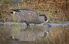 lagoon creek - pink-eared duck