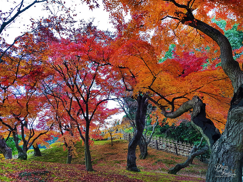okayama korakuen autumn tree