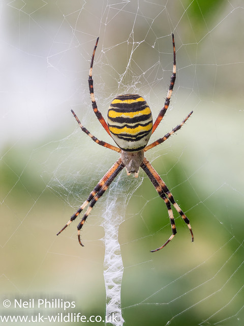 Wasp spider 8 images stacked with czm