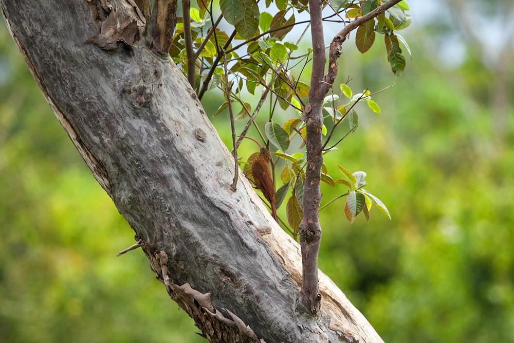 Красноспинный пищухоклювый древолаз (Campylorhamphus trochilirostris)