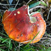 Autumn fungi: fly agaric, out some days