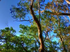 Australian forest talls III