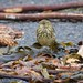 The Rock Pipit: A Good Neighbour