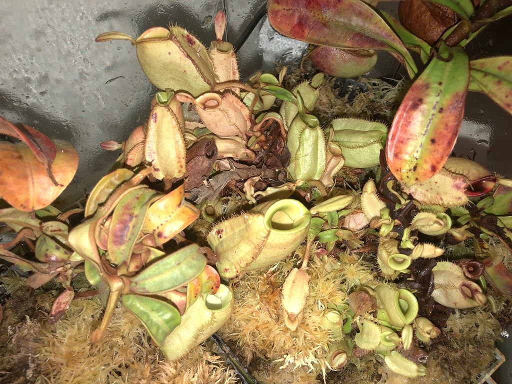 Terrarium grown Nepenthes ampullaria
