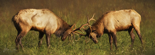 elk smoky mountain nationalpark northcarolina tennessee wildlife bugle bull animal grass mammal tree forest landscape field spar