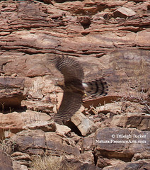 Cooper's Hawk? flying along river in Grand Canyon