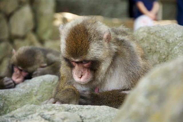 Monkeys of Takasakiyama
