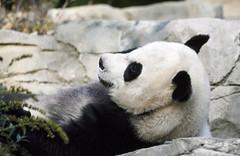 A giant panda, the star attraction at the Smithsonian Institution's National Zoo. Original image from Carol M. Highsmith's America, Library of Congress collection. Digitally enhanced by rawpixel.