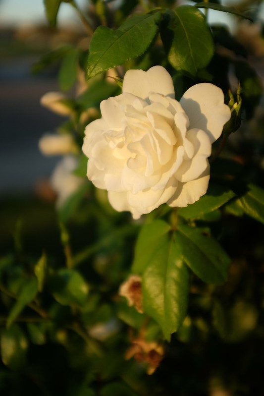 morning light, white rose