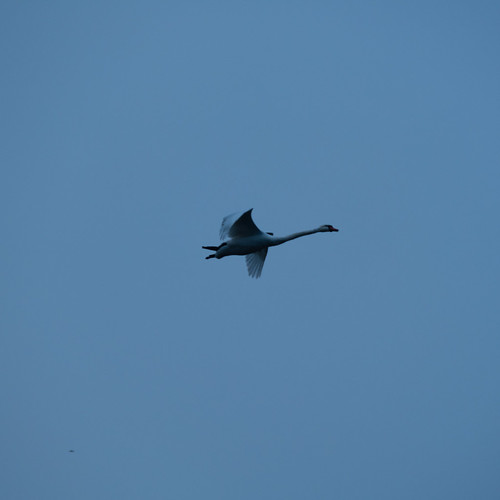 Swan overhead