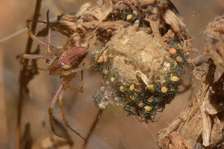 Green Lynx Spider watching over her spiderlings