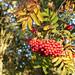 rowan berries 01 oct 18
