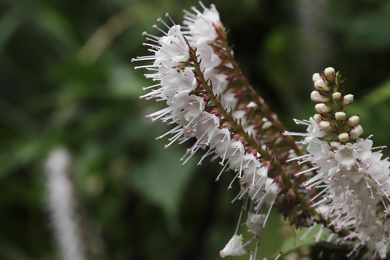 Keiskea japonica  シモバシラ